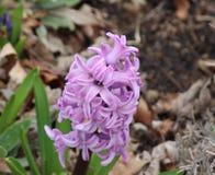 Lavender υάκινθος της άνοιξη στοκ φωτογραφίες με δικαίωμα ελεύθερης χρήσης