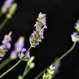 Lavender Υπέροχα ανθίζοντας ιώδεις εγκαταστάσεις - angustifolia Lavandula angustifolia Lavandula Στοκ εικόνες με δικαίωμα ελεύθερης χρήσης