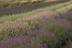Lavender υπόβαθρο λουλουδιών στοκ εικόνες με δικαίωμα ελεύθερης χρήσης