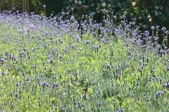 Lavender υπόβαθρο λουλουδιών Στοκ εικόνα με δικαίωμα ελεύθερης χρήσης