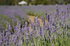 Lavender φεστιβάλ στο αγρόκτημα 123 Στοκ Φωτογραφία