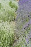 Lavender φεστιβάλ στο αγρόκτημα 123 Στοκ φωτογραφία με δικαίωμα ελεύθερης χρήσης