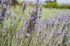 Lavender φεστιβάλ στο αγρόκτημα 123 Στοκ εικόνα με δικαίωμα ελεύθερης χρήσης