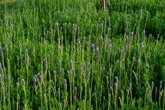 Lavender φύλλα Στοκ Εικόνες