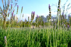 Lavender φύλλα Στοκ Φωτογραφίες