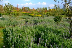 Lavender φύλλα Στοκ Φωτογραφία