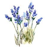 Lavender χέρι απεικόνισης λουλουδιών Watercolor που χρωματίζεται ελεύθερη απεικόνιση δικαιώματος