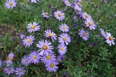 Lavender-χρωματισμένα κεφάλια λουλουδιών του dumosum Symphyotrichum στοκ εικόνες