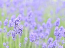 Free Lavender Stock Photo - 10002530