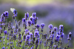 Lavender. Fresh lavender in the garden Stock Photo