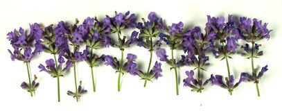 Lavender. Blooms isolated on white stock photography