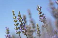 Free Lavender Stock Image - 10494371