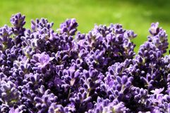 Lavender. A bunch of flowering lavender Stock Photo
