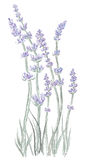 Lavender. Hand drawn illustration of lavender flower .Drawn in Illustrator with charcoal brush to make it look like traditional pastel drawing Stock Photography
