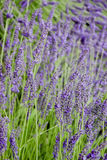 Lavender. In saturated color for personal taste Royalty Free Stock Image