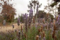 Lavender εγκαταστάσεις που αυξάνονται μεταξύ των χλοών στοκ φωτογραφίες με δικαίωμα ελεύθερης χρήσης