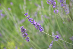 Lavender. Field close up, France Stock Images