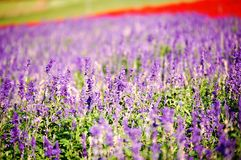 Lavender. Field of lavender in a park Royalty Free Stock Photography