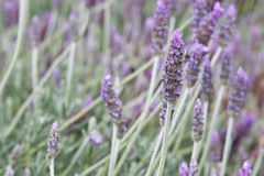Lavender Royalty Free Stock Images