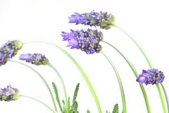 Lavender. Bunch of lavender isolated on white background stock images