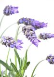 Lavender. Bunch of lavender isolated on white background royalty free stock image