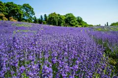 Lavender flower blooming fields royalty free stock image