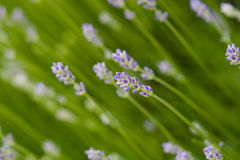 Lavender. Close up of fresh lavender in the garden Royalty Free Stock Images