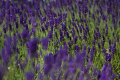 Lavender. A lavender field in june Royalty Free Stock Images