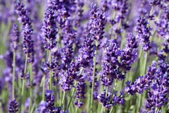 Lavender. A lot of Lavender plant growing in the sun royalty free stock photos