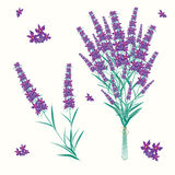 Lavender. Vector illustrated bouquet of lavender Stock Photos