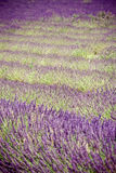 Lavender. Field of lavender in provence, south France Stock Photo