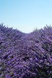 Lavender Royalty Free Stock Photo