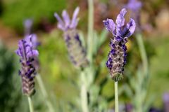 Lavender. Close up of lavender flowers Royalty Free Stock Photography