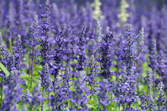 Free Lavender Stock Images - 19253024