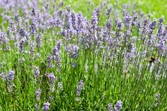 Lavender. Purple aromatic plant can use for herbal medicine and perfume royalty free stock photography