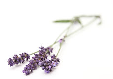 Lavender. Beautiful lavender flowers isolated on white background royalty free stock photos