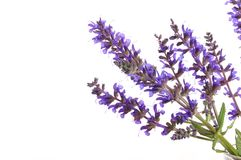 Lavender. Bunch of lavender isolated on white background Stock Photography
