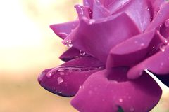 Lavender. Nice mauve rose and white background Royalty Free Stock Image