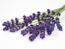 Lavender. Strands of lavender en studio Royalty Free Stock Photography