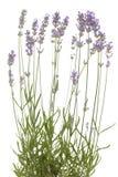 Lavender. Cluster fresh lavender on white background Royalty Free Stock Image
