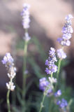 Lavender. Tender and beautiful lavender flowers in a day light. Focus on the top of the flower Royalty Free Stock Photography