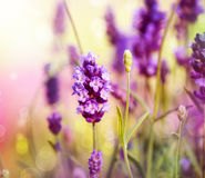 Free Lavender Stock Photos - 26019603