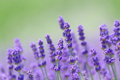 Lavender Stock Photo