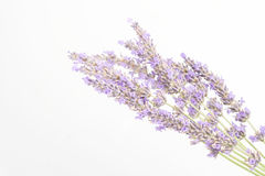 Lavender. Bunch of lavender flowers isolated on white Royalty Free Stock Images