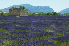 Lavender. France Provence field of lavander Stock Photography