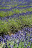 Lavender. France Provence field of lavander Stock Image