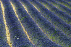Lavender. France Provence field of lavander Royalty Free Stock Image