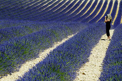 Lavender. France Provence field of lavander Royalty Free Stock Images