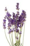 Lavender Royalty Free Stock Photos