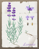 Lavender. Retro - styled lavender botanical drawing Stock Images